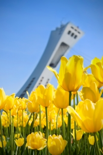 Yellow tulips with the Olympic stadium (Bélanger, Natalie-Claude © Bélanger, Natalie-Claude; VisaPro.ca. All Rights Reserved.)