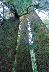 Moss covered trees in Carmanah Walbran Provincial Park (Bergeron, JF © Bergeron, JF; Tourism BC. All Rights Reserved.)