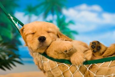 « Journées de chien en été » chiot dans un hamac (Charles, Mann © Charles, Mann; VisaPro.ca. Tous droits réservés.)