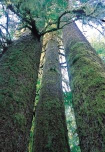Arbres couverts de mousse dans le Parc provincial de Carmanah Walbran (Bergeron, JF © Bergeron, JF; Tourism BC. T.d.r.)