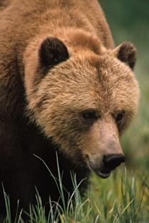 Urs Grizzly (Douglas, Keith © Douglas, Keith; Tourism BC. Organizaţie partenerǎ: Tourism BC. Toate drepturile rezervate.)