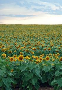 Floarea-soarelui în Manitoba (Milosevic, Stan © Milosevic, Stan. Toate drepturile rezervate.)